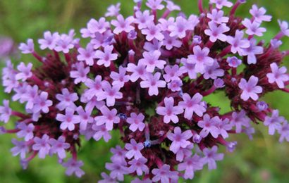 Върбинка (Verbena officinalis